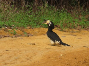 Hornbill, Ko Chang, Thailand