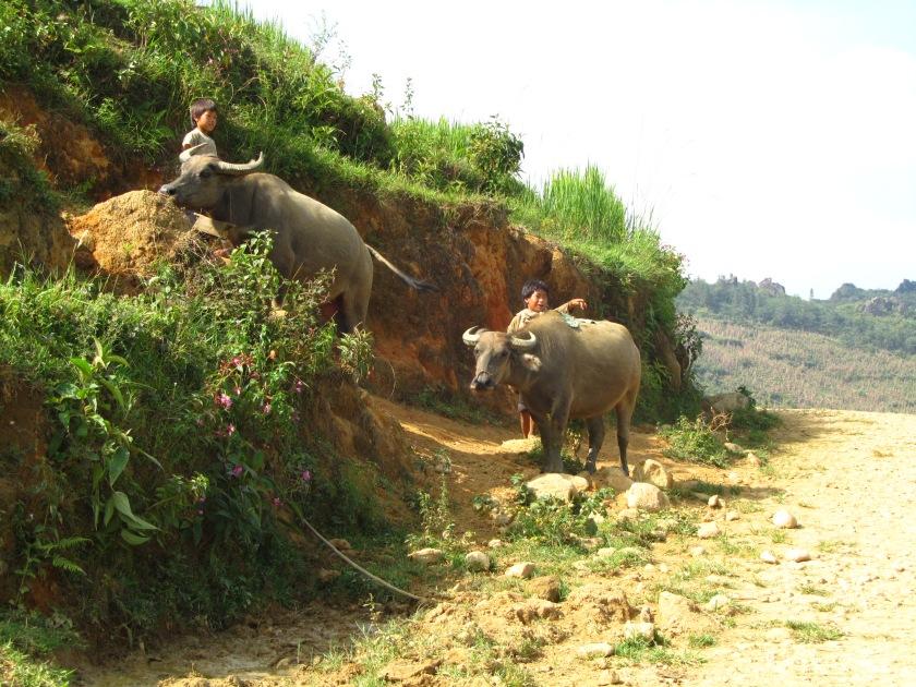 Bivoli, Sapa, Vijetnam