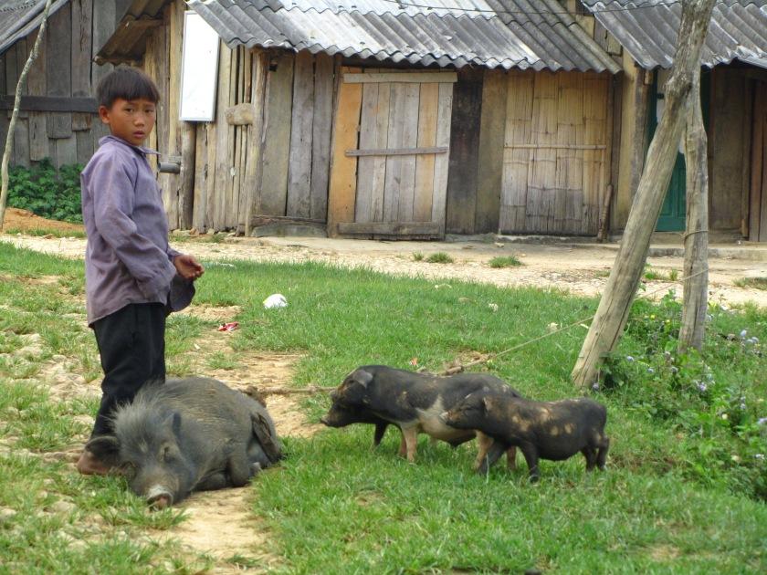 Crne Vijetnamske svinje, Sapa, Vijetnam